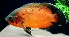 10 x of Astronotus ocellatus 'Red' (South American Cichlid)
