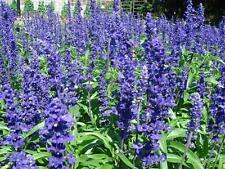Salvia Strata Seeds Perennial Light Blue Flowers Heat & Drought Tolerant