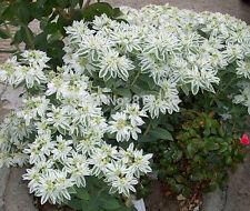 New listing Snow On The Mountain Euphorbia Marginata Flower 100 Seeds