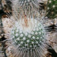 Mammillaria geminispina Cactus Cacti Succulent Real Live Plant