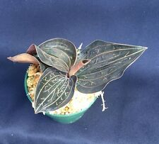 "ANOECTOCHILUS CHAPAENSIS, RARE JEWEL ORCHID PLANT, SHIPPED IN A 2 1/2"" POT"