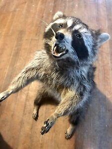 Taxidermy Raccoon Eating Snack Full Body Mount Fur Coon Possum Fox Wildlife Art
