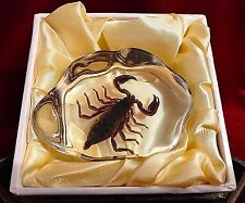 REAL Scorpion in Acrylic Block-Taxidermy Paperweight-Halloween Decor-Small