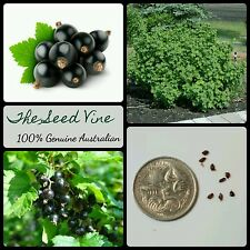 30+ ORGANIC BLACKCURRANT SEEDS (Ribes nigrum) Edible Juice Fruit Shrub Tasty