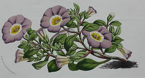 BOTANICAL old flower print NOLANA PARADOXA VIOLACEA Horto van Houtteano c.1860