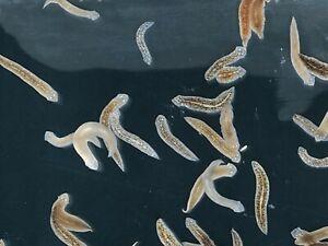 Planaria & Hydra Killer specifically measured dose 100% Safe 100% Effective