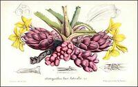 Disteganthus basilateralis bromeliad Guyana Botanik botany van Houtte Lithograph