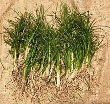 50+ Bare Root Plants - Mondo Grass Ophiopogon Japanese Garden Ground Cover