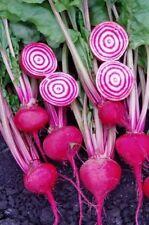 100+ Chioggia Beet Seeds-Candy Stripe-Open Pollinated- NON-GMO-Organic.