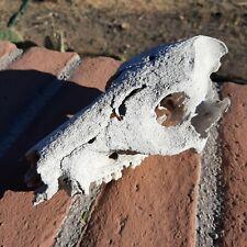 Arizona real skull naturally weathered in the Sonoran desert Old creepy