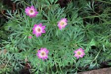 50+  ANEMONE MULTIFILDA ANNABELLA, WILDFLOWER ROSE-PINK & WHITE FLOWER SEEDS