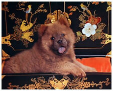 CHOW CHOW (CHINESE) DOG ART PHOTO POSTER PUPPY