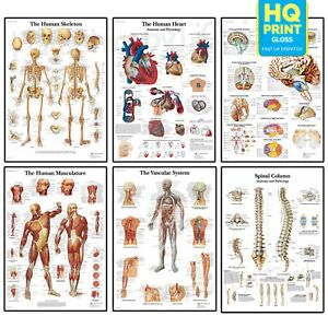 Human Anatomy Medical Doctor Anatomical Educational Posters | A5 A4 A3 A2 A1 |