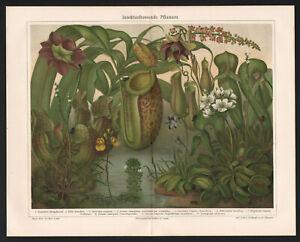 1905. BOTANY. INSECTIVOROUS PLANTS. Antique print