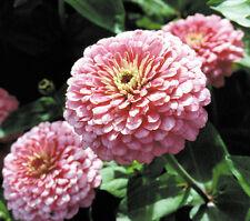Pink Zinnia Seeds, Luminosa, Heirloom Zinnias, Bulk Seeds, Heirloom Flower 400ct