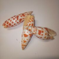 3 x orange mitra Sea shells. Beach home coastal decor. Craft wedding art