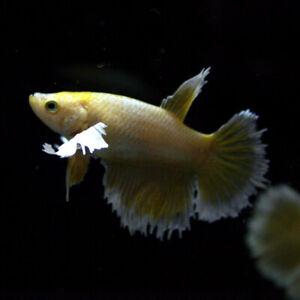 Live Betta Fish Female Gold Dumbo Ears Halfmoon Thailand