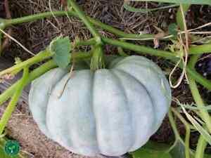 10 seeds of Jarrahdale Pumpkin - CUCURBITA - Blue White Squash +5seeds Sunflower