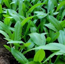 500pcs Lactuca sativa longifoliaf. Lam Green leaf salad seeds Vegetable