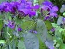 Flower - Honesty Mixed - 400 Seeds - Ideal Dried - Large Packet