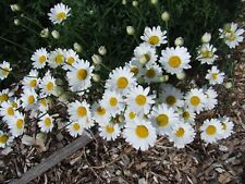 Pyrethrum True Insecticide (50 seeds)- Organic Heirloom Life-Force Seeds
