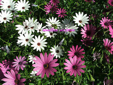 margarita del cabo, African daisy, Dimorphoteca  60 semillas seeds graines samen