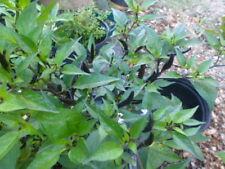 Vietnamese Devil Pepper - Small , Black (10 Seeds) Super Hot , Very Rare,