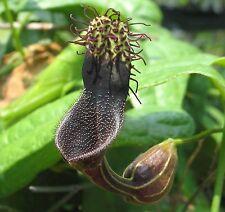 Aristolochia tiracambu #2 | 10_Seeds