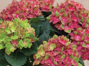 HYDRANGEA 'PISTACHIO'-  STARTER PLANT - APPROX 6-8 INCH