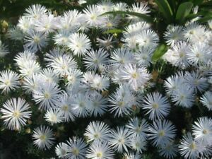 2xRooted Pigface/White Ice Plant/White Bush Ice Plant  cuttings Flower