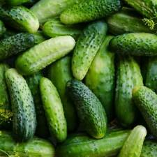 Boston Pickling Cucumber Vegetable Seeds 25 Ct NON-GMO US SELLER FREE SHIPPING