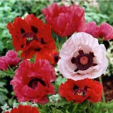 Poppy- Oriental Mix- 500 Seeds