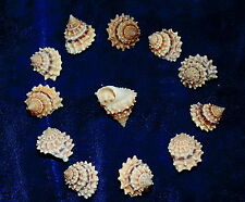 "TWELVE (12)  TECTARIUS CORONTUS  SEA SHELLS 5/8 to 1"" BEACH DECOR CRAFT"