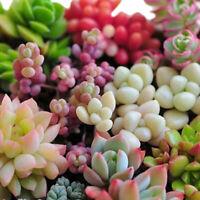 80X gemischte Sukkulenten Samen Pflanzen Kaktus Home Pflanze 1A ZP