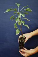 GINKGO BILOBA Alveolo Maidenhair Splendido albero o Prebonsai Beautiful Tree