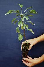 GINKGO BILOBA 1 pianta in Alveolo Splendido albero