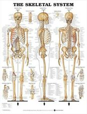 SKELETAL SYSTEM POSTER (66x51cm) ANATOMICAL CHART HUMAN BODY SKELETON MEDICAL