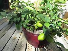 Lemon Tree Seeds- DWARF MEYER LEMON - MEDICINAL - Helps Weight Loss - 10 Seeds