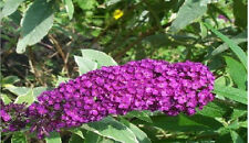 Fushia Red Butterfly Bush Shrub Over 100 Seeds