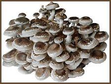Pilzzucht Fertigkultur SHIITAKE ca 3,5 kg groß  Pilze selber züchten