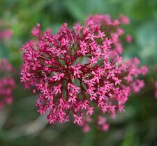 50 Samen Rote Spornblume - Centranthus ruber