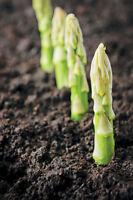 100PCs Rare Asparagus Officinalis Seeds Vegetables 3 Species Viable Plants seeds