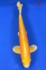 "New listing 10.5"" Yamabuki Ogon Live Koi Pond Fish KoiFishUsa"