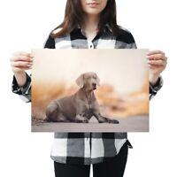 A3 - Large Weimaraner Dog Puppy Poster 42X29.7cm280gsm #16229