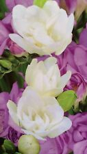 Freesia Blue & White Mix 5 Bulbs Fragrant Summer Bloom