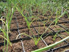 Yucca elata - Palme-China-Yucca   20-30cm Pflanze   bis -23°C Frosthart