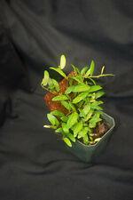 New listing Ficus sp. 'Panama' - Terrarium