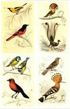 """Birds: Flycatchers ,Oriole, Blue-tit - Nature Illustration - Vtg Art Print 9x13"""""""