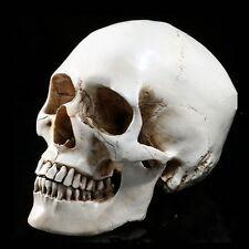Life Size 1:1 Human Skull Resin Model Anatomical Medical Teaching Skeleton Sbo