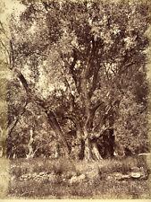 Photo Albuminé Arbre Olivier Cap Martin Menton Vers 1870/80